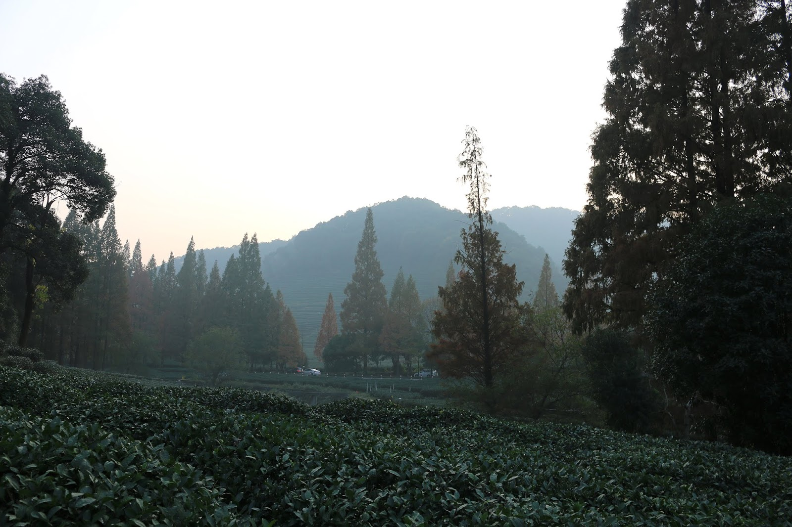 Dragon Well Green Tea Plantation Hangzhou