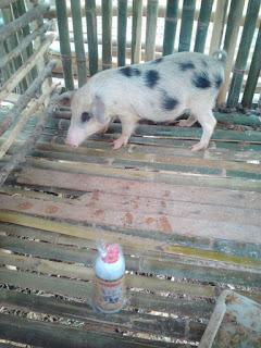 manfaat viterna untuk babi