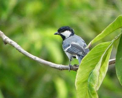 2 Cara Paling Akurat Membedakan Burung Gelatik Batu Jantan Dan Betina Paling Lengkap