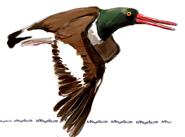 American Oystercatcher sketch painting. Bird art drawing by illustrator Artmagenta.