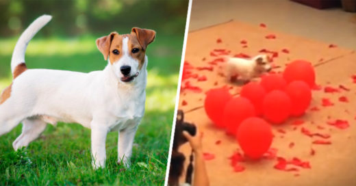Un perrito tronó 100 globos en 39.08 s y es Recórd Guinness