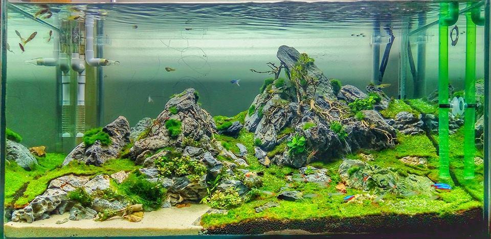 Bể thủy sinh với thảm cỏ mini fiss