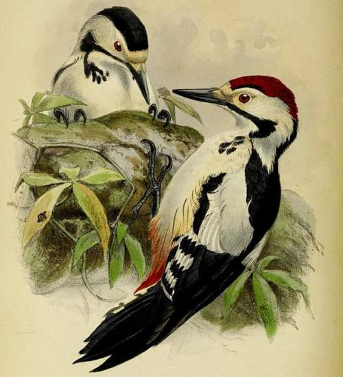Sind woodpecker - Dendrocopos assimilis