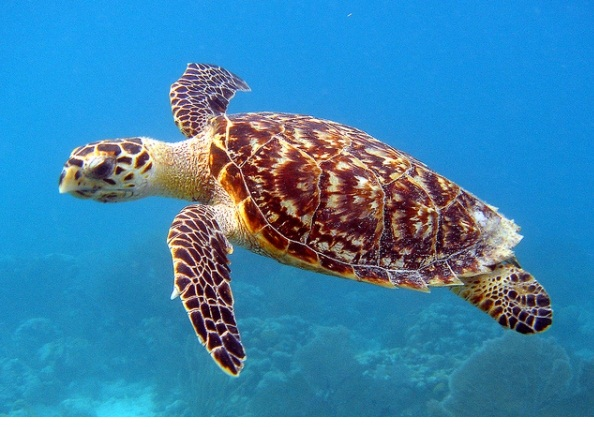 Hawksbill sea turtle is extinct animals