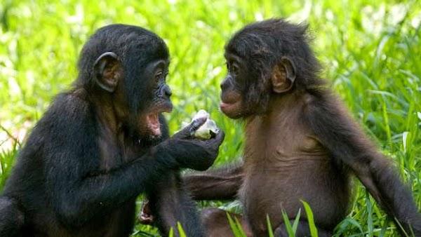 Investigación en primates ofrece pistas sobre la evolución del habla.