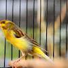 Cara Merawat Burung Kenari Yang Sudah Tua