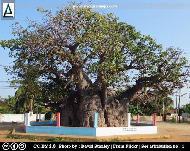 Baobab Tree, Pallimunai, Mannar