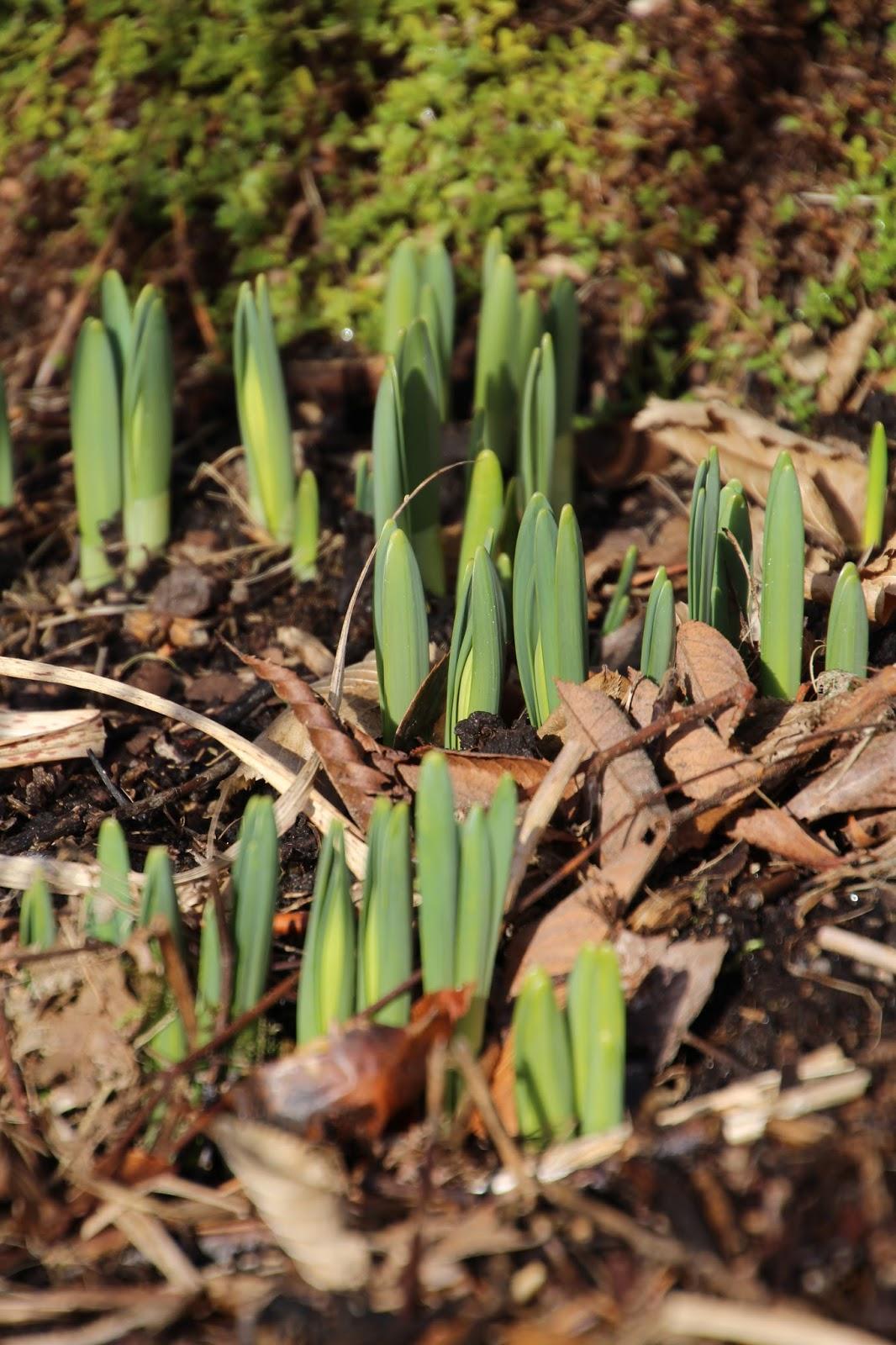 Påsklilja Narcissus