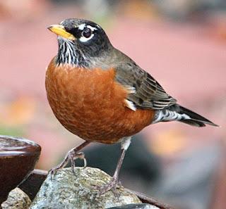 https://www.google.ca/search?q=robin+bird&source=lnms&tbm=isch&sa=X&ved=0ahUKEwjJ8PX94snUAhVW7WMKHUoYDHkQ_AUICigB&biw=1440&bih=770#imgrc=KRzRjR5bqx9M1M: