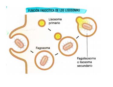 LISOSOMA PRIMARIO PDF DOWNLOAD