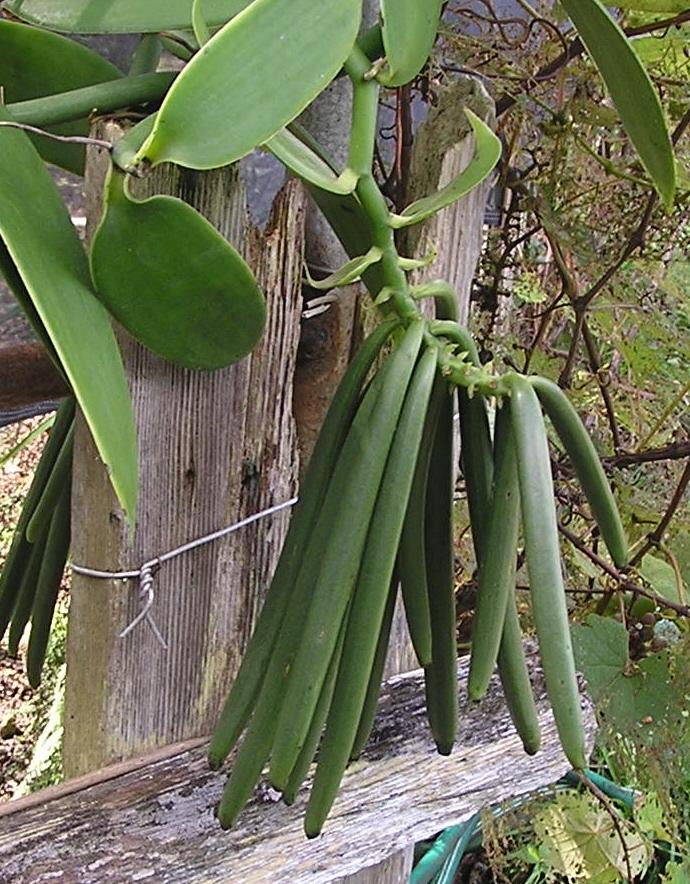 Baunilha (Vanilla planifolia)