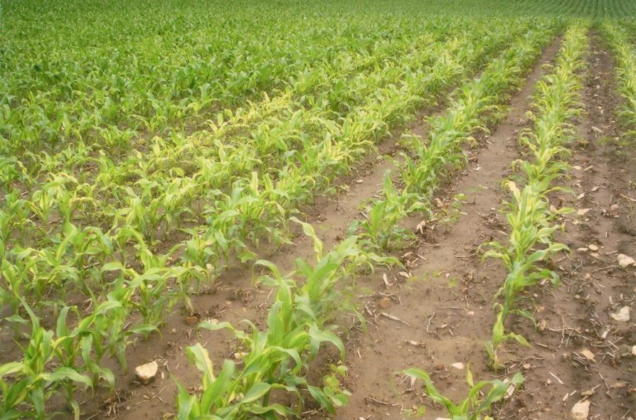 4 key nutrient deficiencies to scout for early in the for Soil zinc deficiency