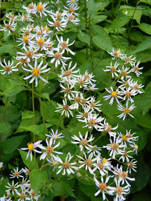 White wood aster Eurybia divaricatus Toronto ecological gardening by garden muses-not another Toronto gardening blog