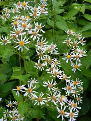 White wood aster Eurybia divaricatus Toronto ecological gardening by garden muses-not another Toronto gardening blog