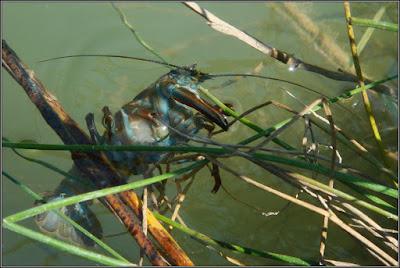 Cangrejo señal en el Río Júcar