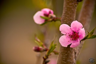Quality natural pink peach blossom on a branch professionally photographed by Cramer Imaging in Pocatello, Bannock, Idaho