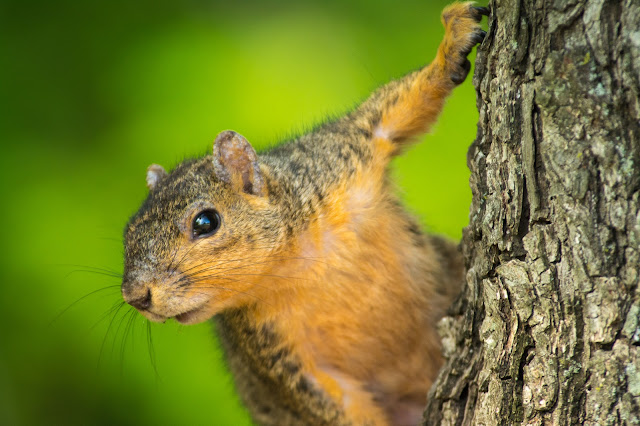 Fox Squirrel, Colleyville Nature Center