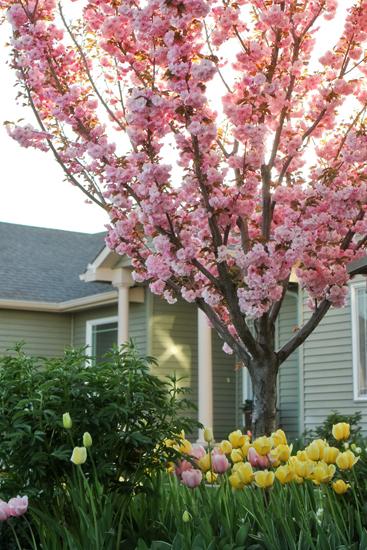 Vw garden peak spring bloom part ii - Romanian cherry tree varieties ...