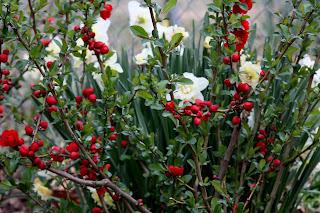 Daffodils%2B014.JPG