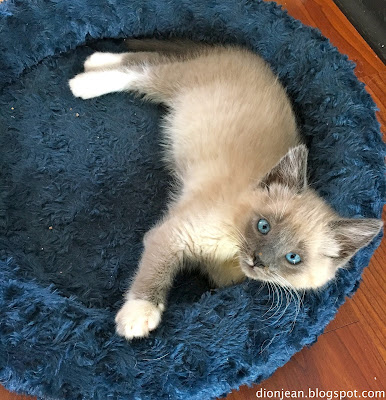 Siamese kitten in his bed