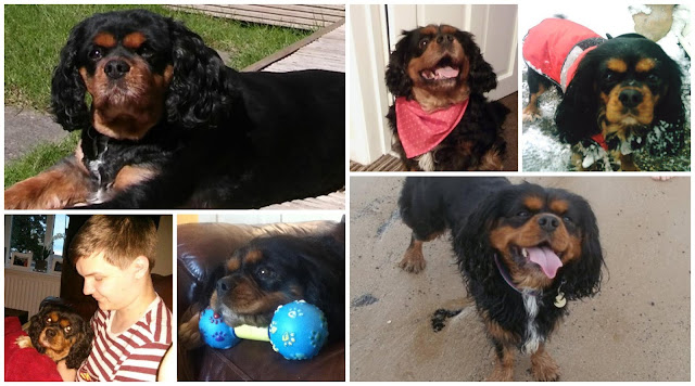 Black and tan cavalier king charles spaniel collage