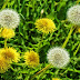 Taraxacum officinale - Medicinal e Muito Ornamental