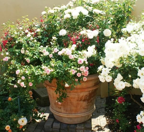 rosas y fuchsias