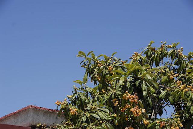loquat tree: LadyD Books