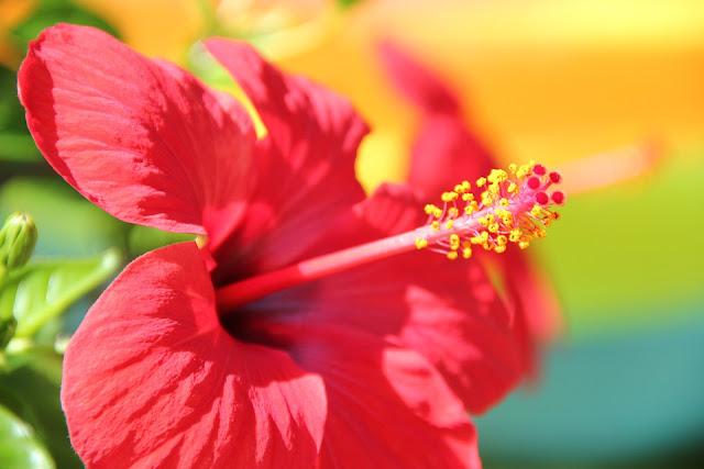 Hibiscus, Trandafirul japonez sau de China