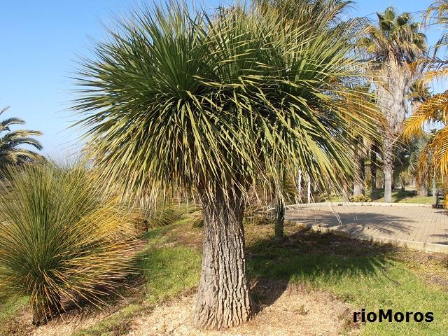 Borracho Nolina longifolia