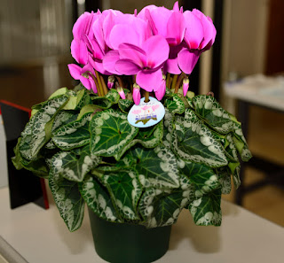 Cyclamen of seaman farm