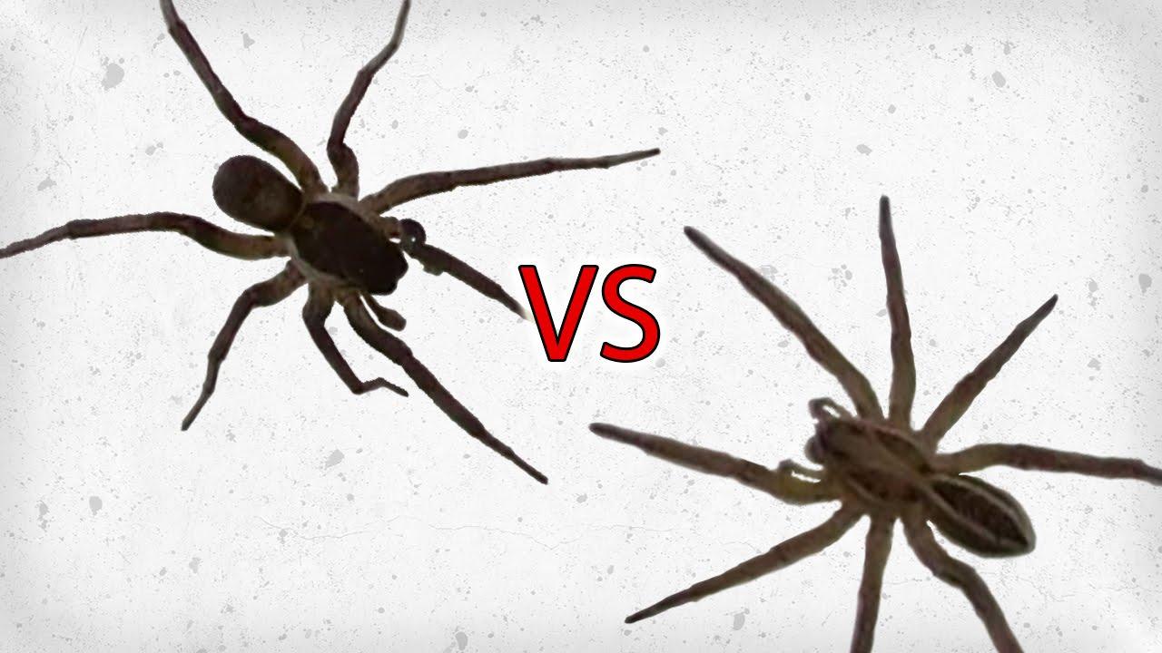 wolf spider vs brown recluse - Brown Spider Identification Wolf Spider vs Brown Recluse Spider