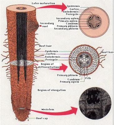 Onion Root Tip Diagram 4l80e Swap Wiring Hitzkiel: Struktur Morfologi Dan Anatomi Akar Tumbuhan