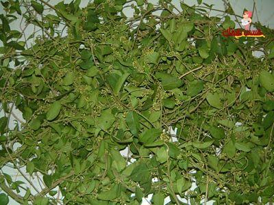 أورقا نبات الجرومار لإنقاص الوزن