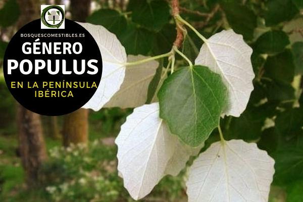Lista de especies del Género Populus, Alamos o Chopos, Familia Salicaceae en la Península Ibérica