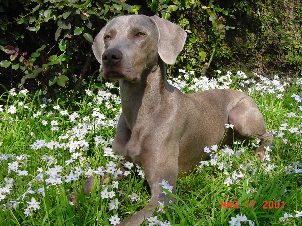 Dog Breed Directory: Weimaraner Dog Breed