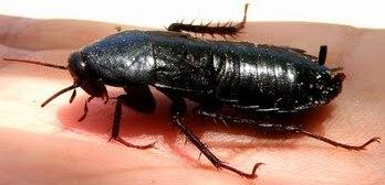 Foto de una cucaracha negra de perfil