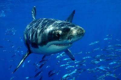 What does the great white shark eat?