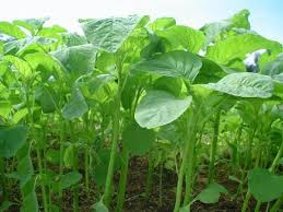 Spinach: vegetable crops that have included the nature of antianemia