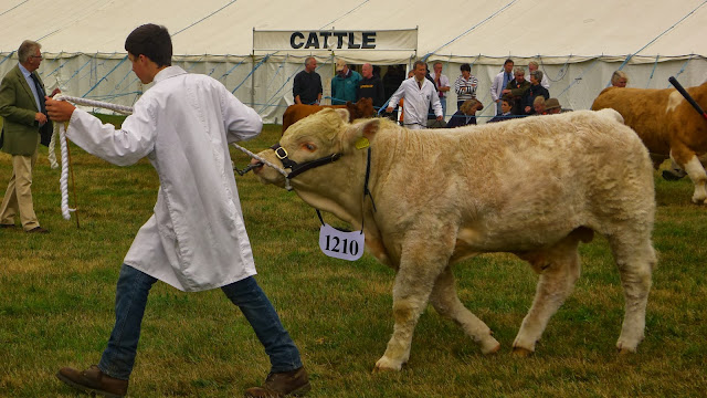 The bigger Charolais won