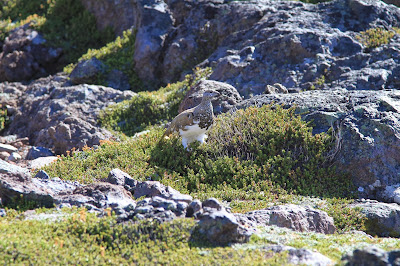 Lagopus leucura – White-tailed Ptarmigan and Empetrum nigum – Crowberry