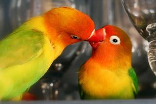 burung lovebird birahi, lovebird birahi, gambar lovebird birahi