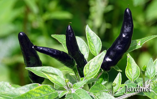 Pimenta Goat's Weed ou Black Cobra