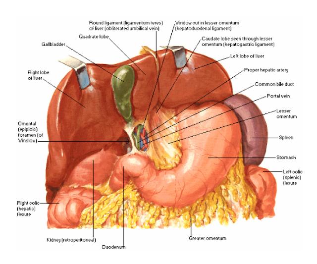 ficatul omului