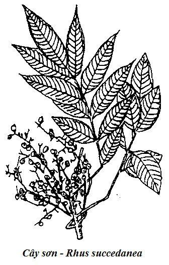 Hình vẽ Cây Sơn - Rhus succedanea - Nguyên liệu làm thuốc Có Chất Độc