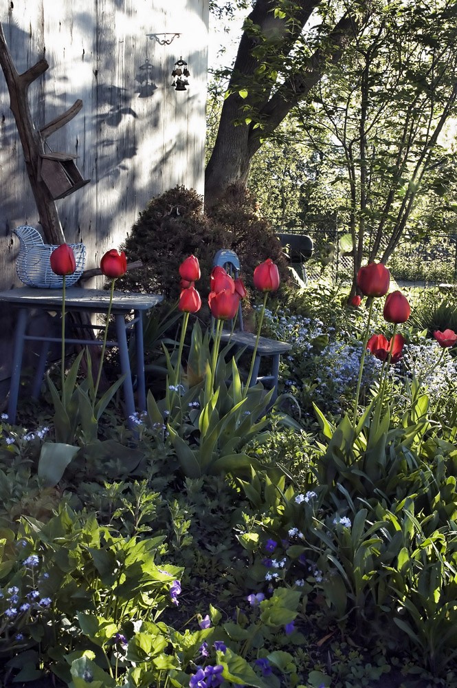 Tulips in a dappled shade garden in early spring.