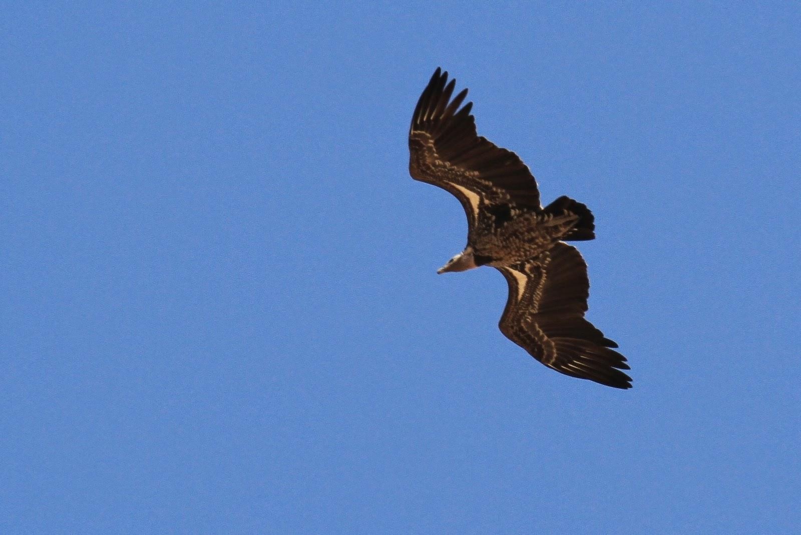 cd832f83bfa6 En mai, certains de  nos  vautours de Rüppell estivent désormais jusqu en  Europe !