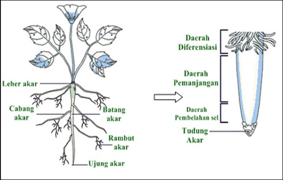 Morfologi Akar Tumbuhan, Contoh, Gambar, dan Penjelasannya