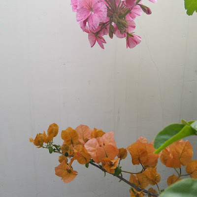 bougainvillea and pelargonium sharing a wall in my little city garden