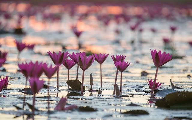 شاهد سحر بحيرة اللوتس الأحمر في تايلند I-visited-the-red-lotus-sea-in-Thailand-57b31602a2fcf__880